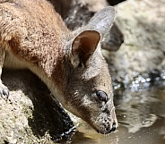 Wallaby drinking