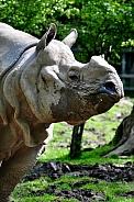 Greater One-Horned Rhino (Rhinoceros unicornis)