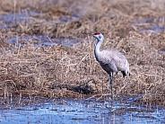 Sandhill Crane Feeding in a Field