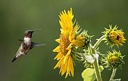Male Ruby throated Hummingbird in flight