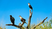 Two Caracaras and Black Vulture