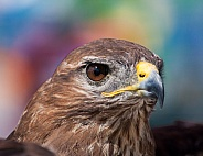 Common - Eurasian Buzzard