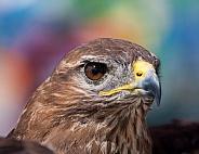 Common - Eurasian Buzzard