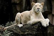 African White Lioness