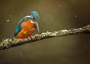 Common Kingfisher Fishing