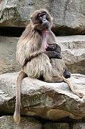 Bleeding Heart Monkey (Theropithecus gelada)