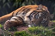 Sumatran Tiger Lying Down Eyes Open