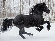 Friesian Horse running in the snow
