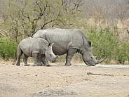Rhinoceros with baby