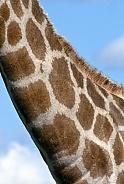 Neck of a Giraffe - Botswana - Africa