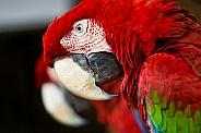 Greebwing Macaws