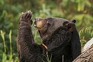 Asian Black Bear in Prayer