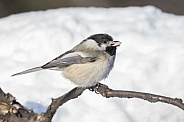Black-capped Chickadee with a Sunflower Kernal