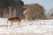 Fallow deer in wintertime