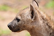 Hyena young one