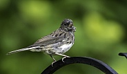 Juvenile Dark-eyed Junco