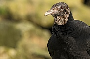 Black Vulture Close Up