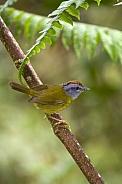 Russet-crowned Warbler - Ecuador