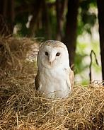 European Barn Owl Portrait in Barn