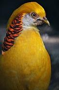 Yellow golden pheasant