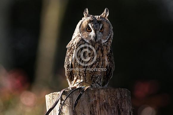 Long Eared Owl Full Body Close Up