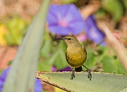 Female Sunbird perched on an aloe plant