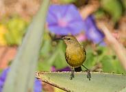 Female Sunbird perched on an aloe plant