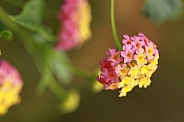 Yellow and Pink Lantana