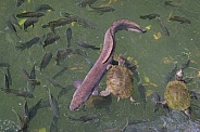 Life in a Volcanic Crater Lake. Tilapia, eel, turtles.