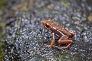 Poison-arrow frog (Epipedobates tricolor)