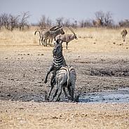 Zebra Stallions Fighting