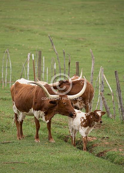 Bos taurus, Texas long horned cows