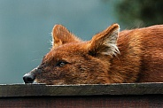 Dhole close up