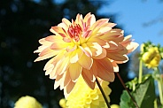 Keith H dahlia in the sun