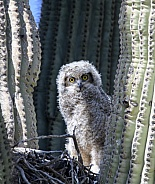 Baby great horned owl in it's nest