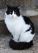 Black and White Tuxedo Longhaired Cat