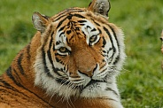 Amur Tiger Close Up Looking Over Shoulder