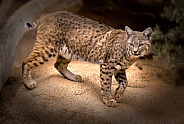 Bobcat female