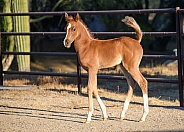 Young Arabian horse colt