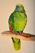 Blue fronted Amzaon