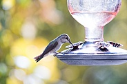 Hummingbird perched at feeder