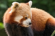 Red Panda Looking Sideways