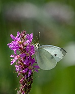 Butterfly Pieris rapae