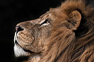 African Lion Side Profile