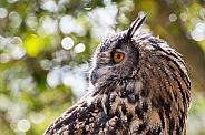 Eurasian Eagle Owl Portrait