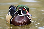 Colorful male wood duck swimming across a pond