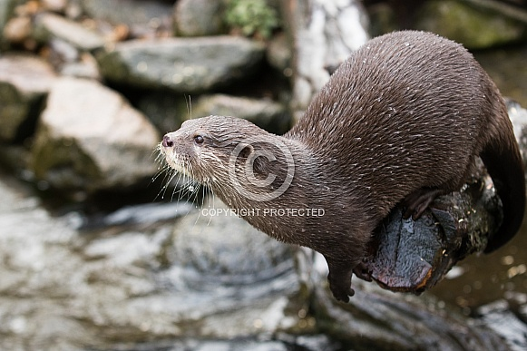 Small-clawed otter
