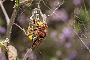 Close up of hornet with prey in spider web