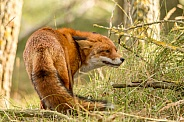 Fox during a fight