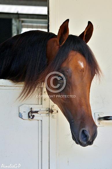 Young Arabian Horse Over Stable Door